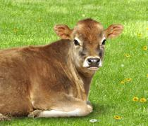 Stock Photo of brown calf