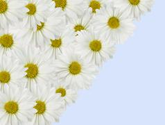 Stock Photo of daisy background