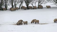 Sheep in a snow covered field Stock Footage
