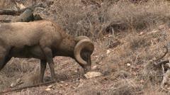 P02444 Bighorn Sheep Ram Feeding in the Black Hills Stock Footage