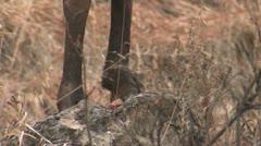 P02447 Closeup of Bighorn Sheep Feet with Tilt of Face - stock footage