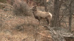P02448 Bighorn Sheep Ewe on Rock Outcropping with Snow Stock Footage