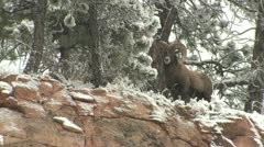P02450 Bighorn Sheep Ram on Snowy Ridgetop Stock Footage