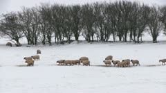 Sheep in a snow covered field - stock footage