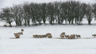 Stock Video Footage of Sheep in a snow covered field