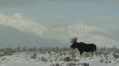 P02459 Bull Moose at Grand Teton National Park Stock Footage