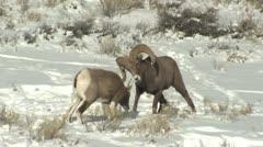 P02463 Bighorn Sheep Ram and Ewe in Breeding Season Stock Footage