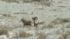P02464 Bighorn Sheep Ram and Ewe Mating Behavior Stock Footage