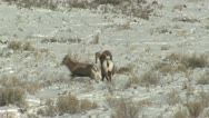 P02464 Bighorn Sheep Ram and Ewe Mating Behavior Stock Footage