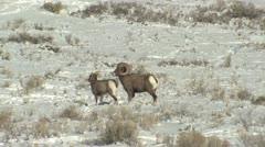 P02465 Bighorn Sheep Rams and Ewe in Breeding Season Stock Footage