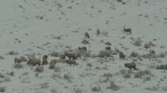 P02474 Herd of Bighorn Sheep Feeding in Winter Stock Footage