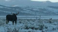 P02486 Bull Moose with Elk in Background at Grand Teton National Park Stock Footage