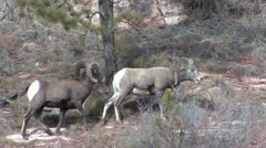 P02490 Bighorn Sheep Ram and Ewe in the Breeding Season - stock footage