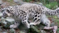 snow leopard cub - stock footage