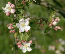 apple blossoms closeup - stock photo