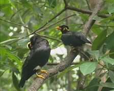 Common Hill Myna (gracula religiosa) pair - stock footage