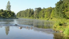 duck swim misty fogy flowing river water bay morning sunrise - stock footage