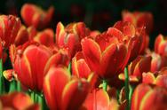 Stock Photo of red and yellow tulip field