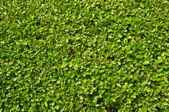 Neatly trimmed garden hedge green leaves. Stock Photos