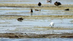 Littre egret Stock Footage