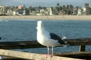 Seagulls Slow Motion 31 Venice Beach High Speed 240fps Stock Footage