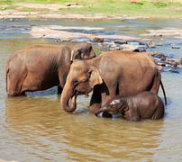 Norsuja Sri Lankasta Kuvituskuvat