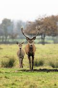 deer and doe - stock photo