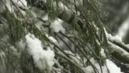 Stock Video Footage of Snowy Pine