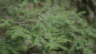 Stock Video Footage of Evergreens