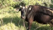 Stock Video Footage of Cow moos tracking shot