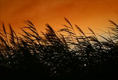 Whispering Reeds At Smokey Sunset Stock Photos