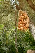 hanged dried onions under olive trees - stock photo