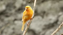 Canary bird staring at camera, shallow depth of field focus on the bird Stock Footage