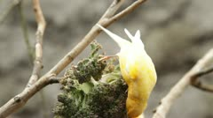 Canary bird eating, shallow depth of field focus on the bird Stock Footage