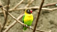 A black-faced, yellow breasted male Gouldian finch Stock Footage