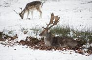 Beautiful image of fallow deer in snow winter landscape Stock Photos