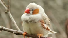 A male zebra finch sitting on a branch Stock Footage