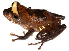 Rain frog (pristimantis quaquaversus) from ecuador Stock Photos