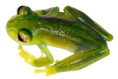 Glass frog (teratohyla ameliae) from ecuador Stock Photos