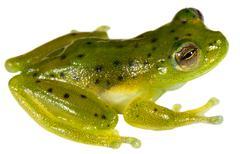 Vitreorana oyampiensis - a very rare species of glass frog from ecuador Stock Photos