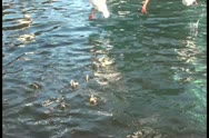 Gulls and ducks fighting over food in the channel Stock Footage