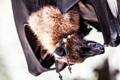 fruit bats hanging out together - stock photo