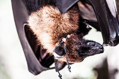 Fruit bats hanging out together Stock Photos
