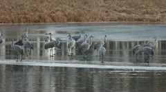 Sandhill Cranes on frozen pond Stock Footage