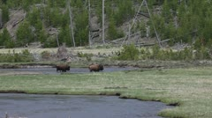 Bison in Yellowstone - stock footage