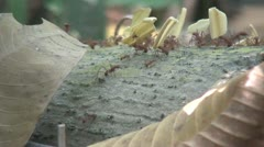Leaf Cutter Ants, Leafs, Plant Leaves, Insects, Animals Stock Footage