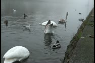 Ducks, gulls, herons and swans gathered morning for breakfast Stock Footage