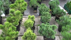 Pine seedlings in agriculture market Stock Footage