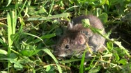 Bank vole (Clethrionomys glareolus) Stock Footage