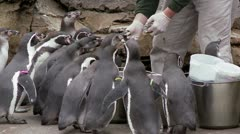 Penguin Feeding Time Stock Footage